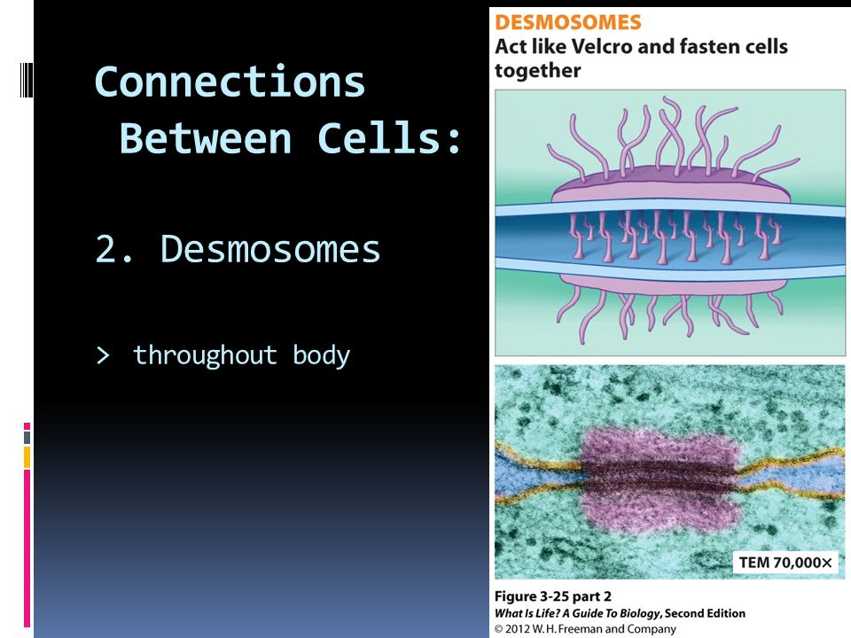 Connections Between Cells: 2. Desmosomes > throughout body