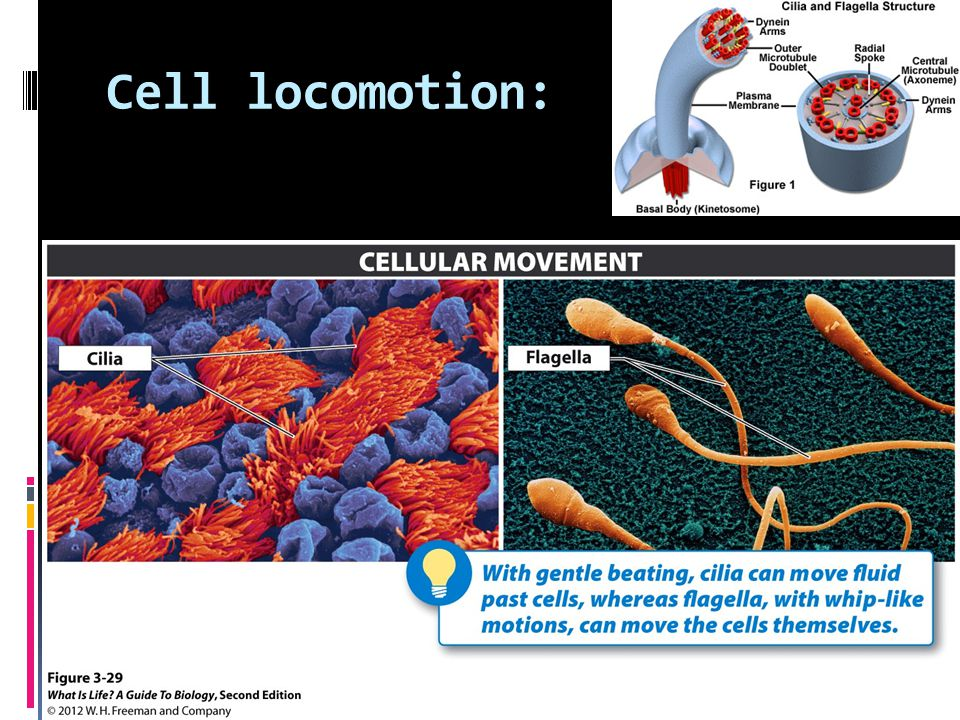 Cell locomotion: