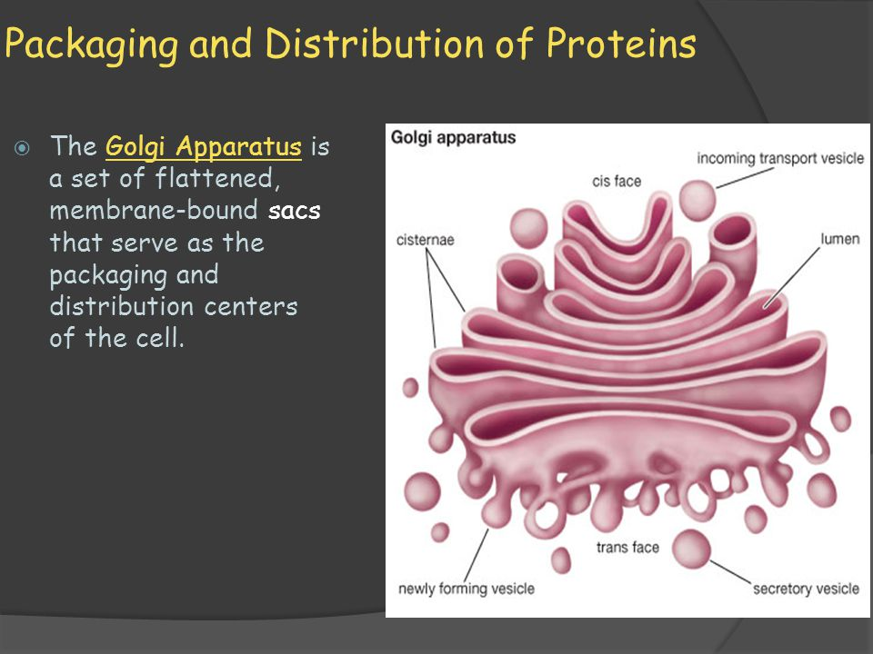 Packaging and Distribution of Proteins  The Golgi Apparatus is a set of flattened, membrane-bound sacs that serve as the packaging and distribution c