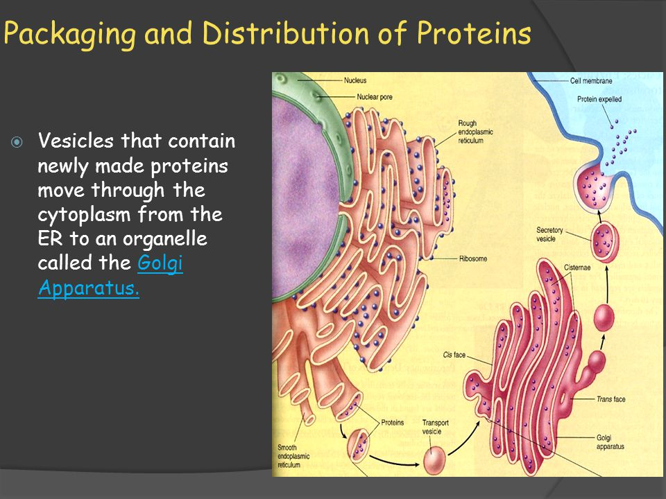 Packaging and Distribution of Proteins  Vesicles that contain newly made proteins move through the cytoplasm from the ER to an organelle called the G