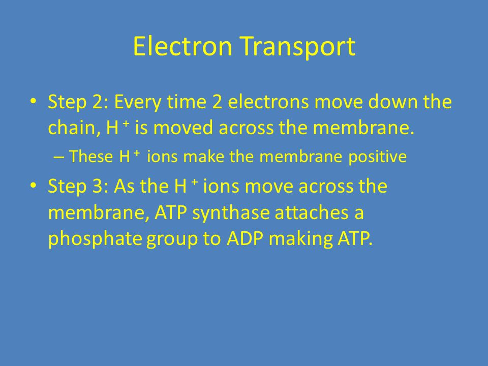 Electron Transport Step 2: Every time 2 electrons move down the chain, H + is moved across the membrane. – These H + ions make the membrane positive S