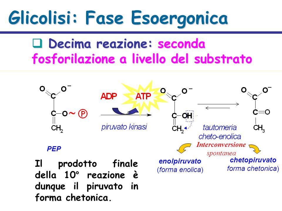 Glicolisi: Fase Esoergonica  Decima reazione: seconda fosforilazione a livello del substrato PEP enolpiruvato (forma enolica) chetopiruvato forma chetonica) Interconversione spontanea  Il prodotto finale della 10° reazione è dunque il piruvato in forma chetonica.