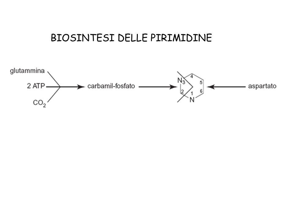 BIOSINTESI DELLE PIRIMIDINE