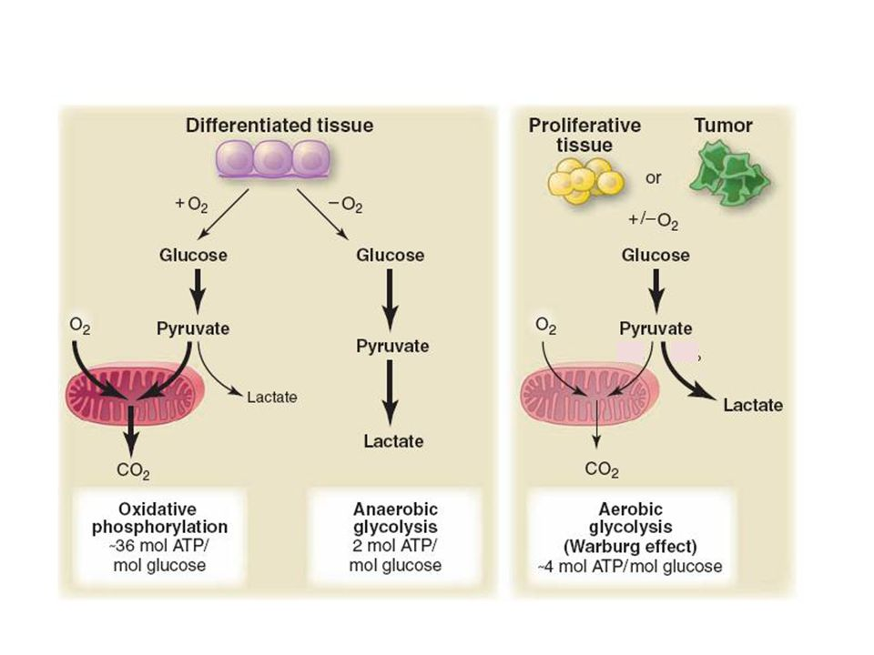 Warburg and co-workers showed in the 1920s that, under aerobic conditions, tumour tissues metabolize approximately tenfold more glucose to lactate in a given time than normal tissues, a phenomenon known as the Warburg effect.