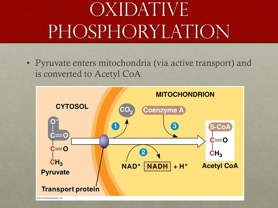 Oxidative Phosphorylation Pyruvate enters mitochondria (via active transport) and is converted to Acetyl CoAPyruvate enters mitochondria (via active transport) and is converted to Acetyl CoA