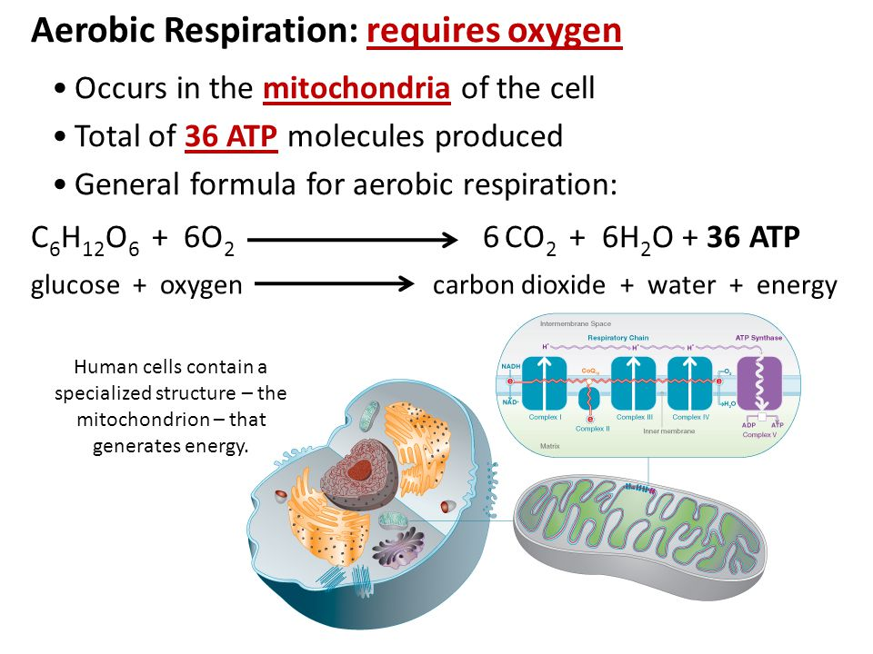 Aerobic Respiration: requires oxygen Occurs in the mitochondria of the cell Total of 36 ATP molecules produced General formula for aerobic respiration: C 6 H 12 O 6 + 6O 2 6 CO 2 + 6H 2 O + 36 ATP glucose + oxygen carbon dioxide + water + energy Human cells contain a specialized structure – the mitochondrion – that generates energy.