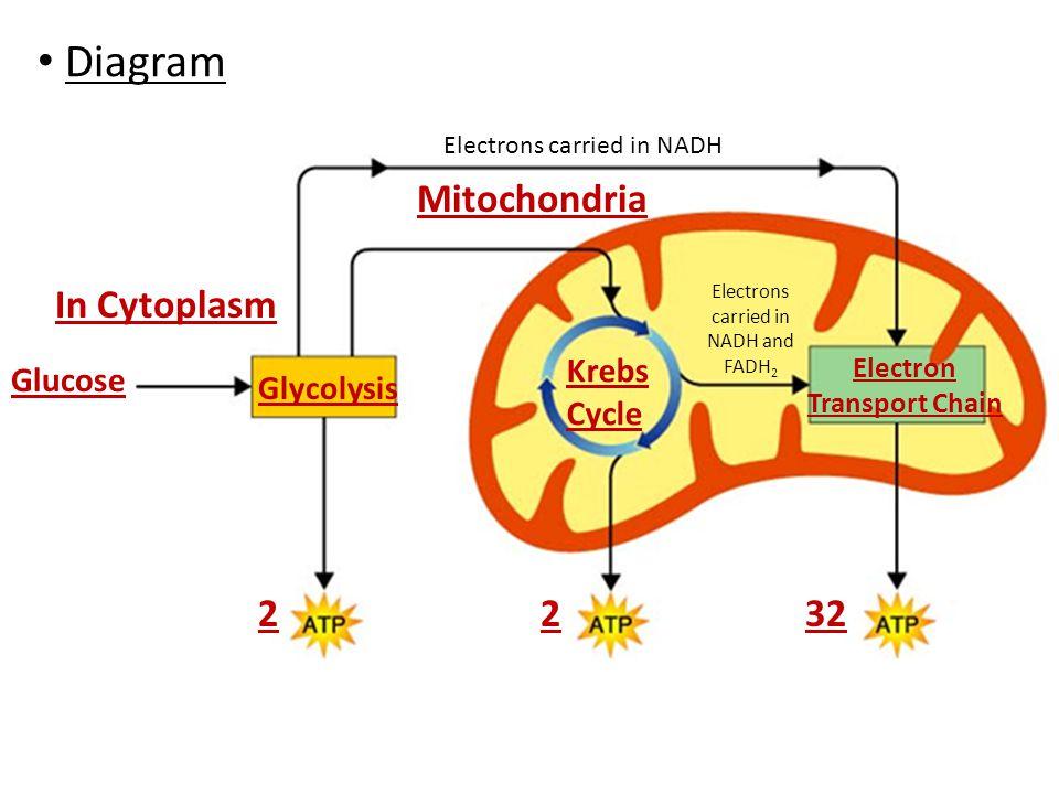 Diagram Glucose Glycolysis Electron Transport Chain 2 Krebs Cycle Mitochondria In Cytoplasm 232 Electrons carried in NADH Electrons carried in NADH and FADH 2
