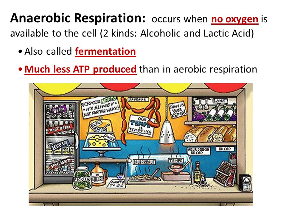 Anaerobic Respiration: occurs when no oxygen is available to the cell (2 kinds: Alcoholic and Lactic Acid) Also called fermentation Much less ATP produced than in aerobic respiration