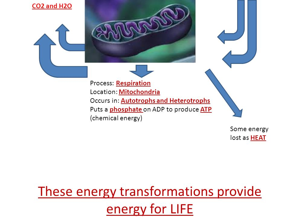 Process: Respiration Location: Mitochondria Occurs in: Autotrophs and Heterotrophs Puts a phosphate on ADP to produce ATP (chemical energy) Some energy lost as HEAT These energy transformations provide energy for LIFE CO2 and H2O