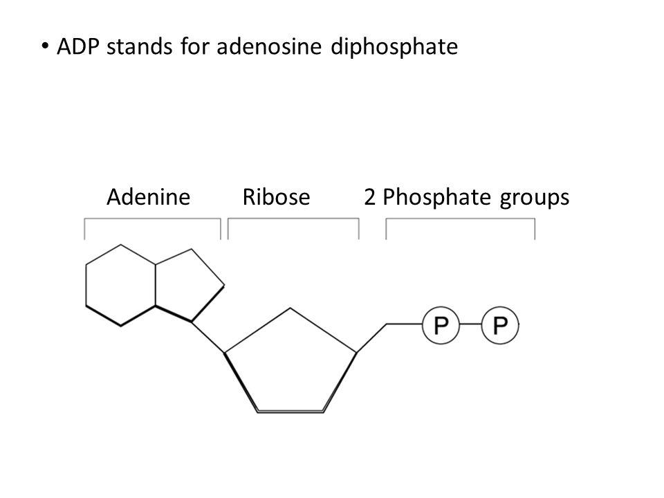 ADP stands for adenosine diphosphate AdenineRibose2 Phosphate groups