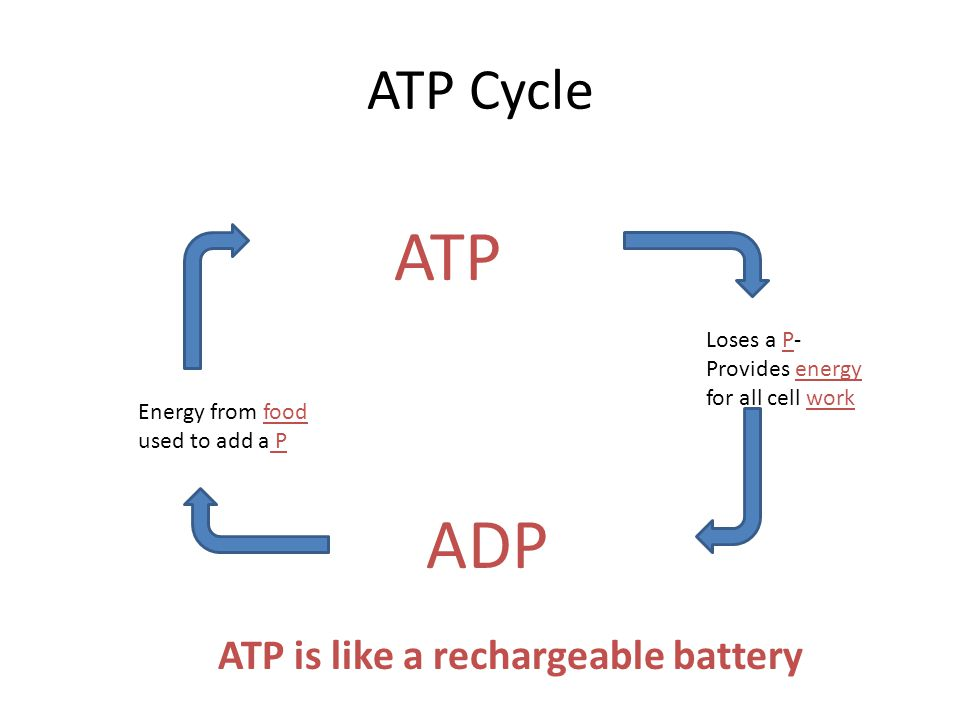 ATP Cycle ATP Loses a P- Provides energy for all cell work ADP Energy from food used to add a P ATP is like a rechargeable battery