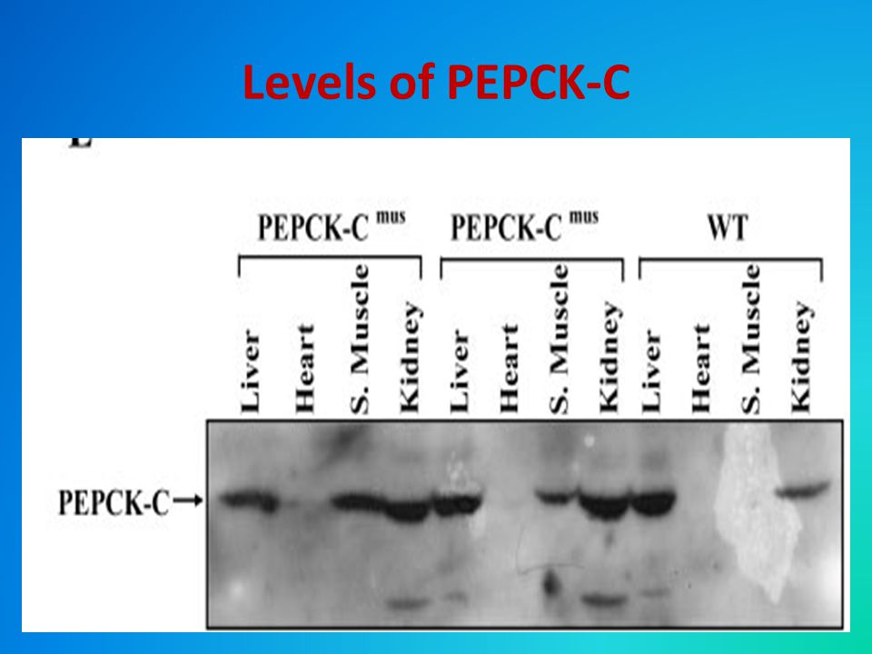 Levels of PEPCK-C