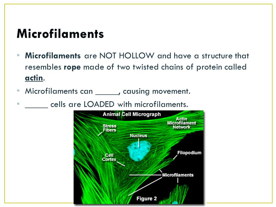 Microfilaments are NOT HOLLOW and have a structure that resembles rope made of two twisted chains of protein called actin.