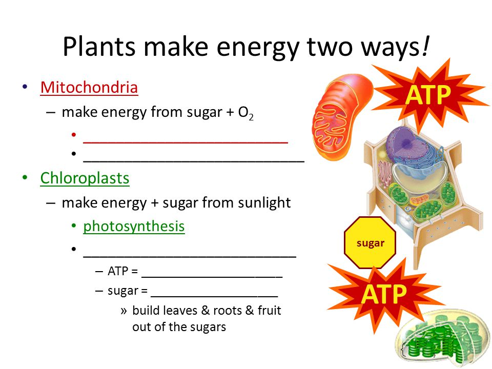 Function – __________________________________ ________________________________ fuels the work of life Structure – __________________ Mitochondria in both animal & plant cells ATP