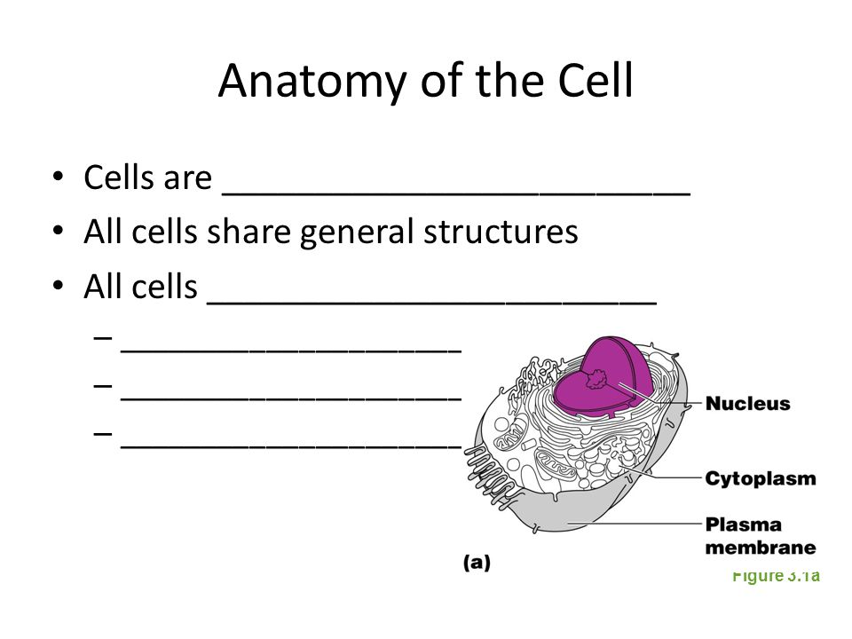 Why study cells Cells  Tissues  Organs  Bodies – ____________________________