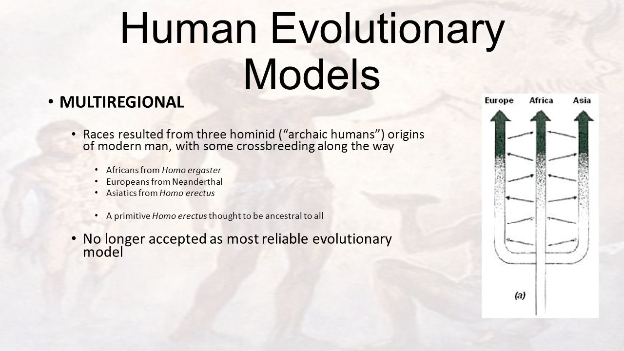 Human Evolutionary Models MULTIREGIONAL Races resulted from three hominid ( archaic humans ) origins of modern man, with some crossbreeding along the way Africans from Homo ergaster Europeans from Neanderthal Asiatics from Homo erectus A primitive Homo erectus thought to be ancestral to all No longer accepted as most reliable evolutionary model