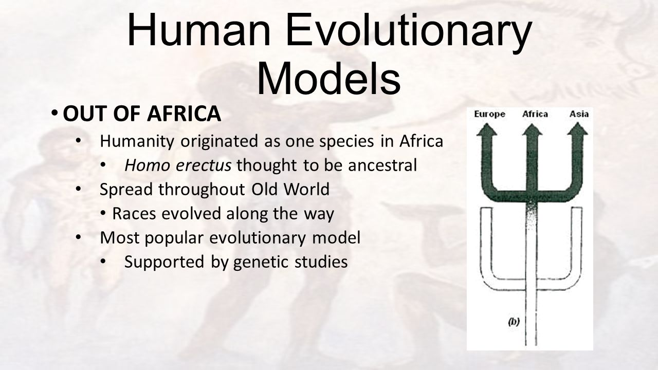 Human Evolutionary Models OUT OF AFRICA Humanity originated as one species in Africa Homo erectus thought to be ancestral Spread throughout Old World Races evolved along the way Most popular evolutionary model Supported by genetic studies