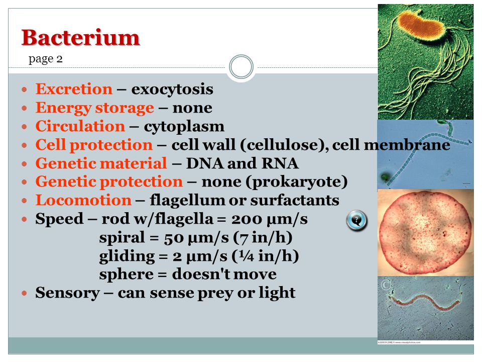 Bacterium Excretion – exocytosis Energy storage – none Circulation – cytoplasm Cell protection – cell wall (cellulose), cell membrane Genetic material – DNA and RNA Genetic protection – none (prokaryote) Locomotion – flagellum or surfactants Speed – rod w/flagella = 200 µm/s spiral = 50 µm/s (7 in/h) gliding = 2 µm/s (¼ in/h) sphere = doesn t move Sensory – can sense prey or light page 2