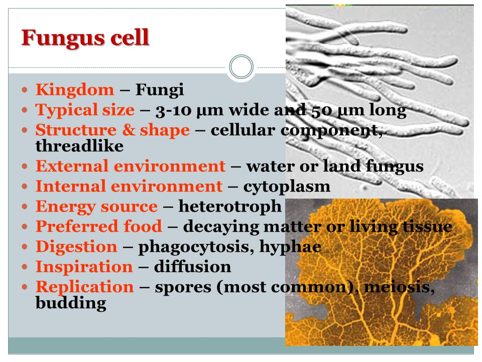 Fungus cell Kingdom – Fungi Typical size – 3-10 µm wide and 50 µm long Structure & shape – cellular component, threadlike External environment – water or land fungus Internal environment – cytoplasm Energy source – heterotroph Preferred food – decaying matter or living tissue Digestion – phagocytosis, hyphae Inspiration – diffusion Replication – spores (most common), meiosis, budding