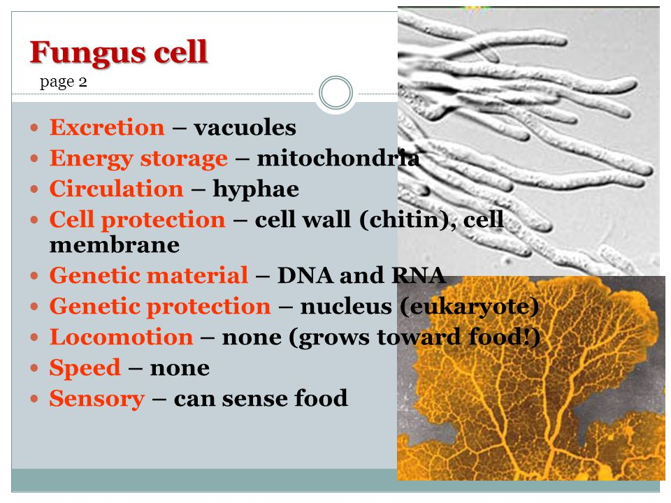 Fungus cell Excretion – vacuoles Energy storage – mitochondria Circulation – hyphae Cell protection – cell wall (chitin), cell membrane Genetic material – DNA and RNA Genetic protection – nucleus (eukaryote) Locomotion – none (grows toward food!) Speed – none Sensory – can sense food page 2