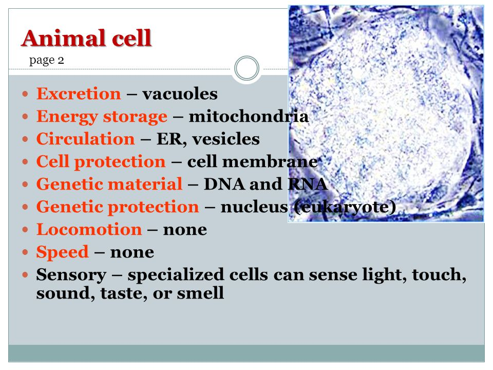Animal cell Excretion – vacuoles Energy storage – mitochondria Circulation – ER, vesicles Cell protection – cell membrane Genetic material – DNA and RNA Genetic protection – nucleus (eukaryote) Locomotion – none Speed – none Sensory – specialized cells can sense light, touch, sound, taste, or smell page 2