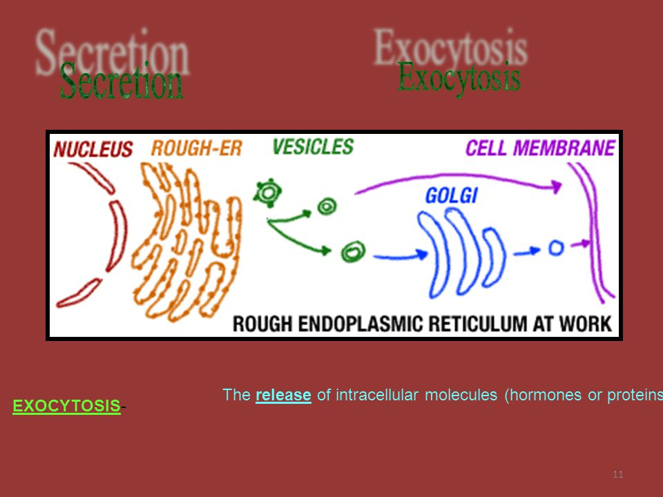 11 The release of intracellular molecules (hormones or proteins) EXOCYTOSIS-