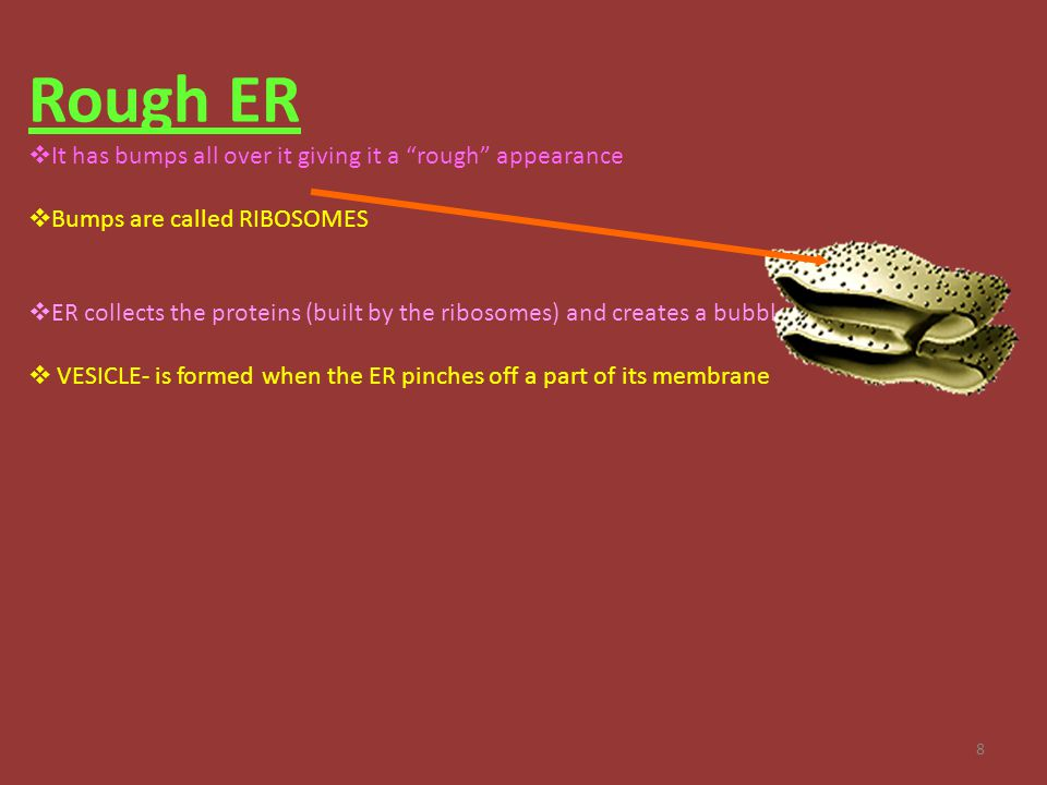 "8 Rough ER  It has bumps all over it giving it a ""rough"" appearance  Bumps are called RIBOSOMES  ER collects the proteins (built by the ribosomes)"