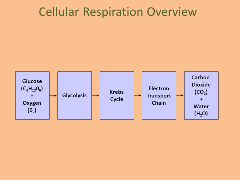 Cellular Respiration Overview Glucose (C 6 H 12 0 6 ) + Oxygen (0 2 ) Glycolysis Krebs Cycle Electron Transport Chain Carbon Dioxide (CO 2 ) + Water (