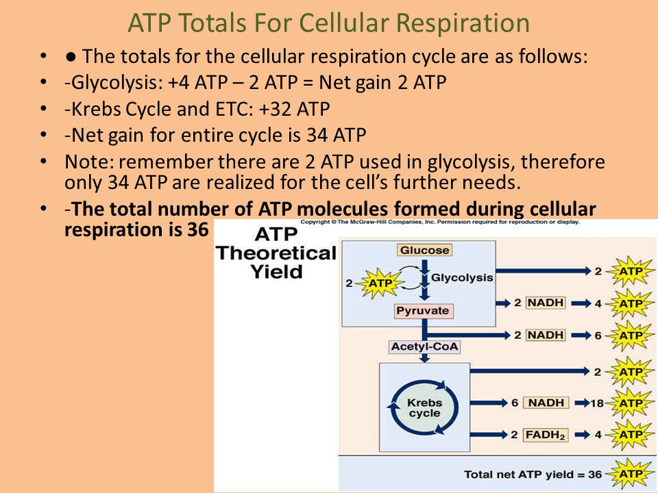 ATP Totals For Cellular Respiration ● The totals for the cellular respiration cycle are as follows: -Glycolysis: +4 ATP – 2 ATP = Net gain 2 ATP -Kreb