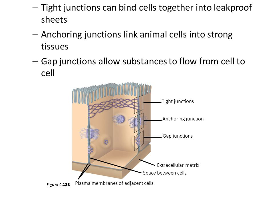 Nuclear Membrane problems defects in the nuclear envelope occur in the genes that code for lamin, a cytoskeletal component of the nuclear lamina, and emerin, an inner membrane protein.