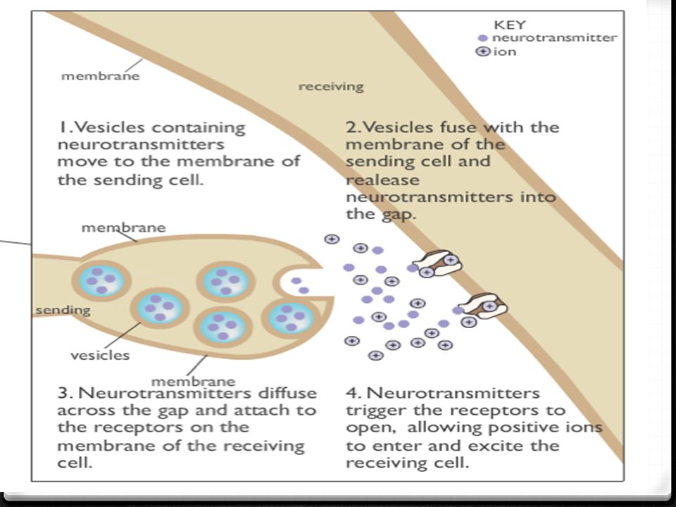 Cell #1: Neuron 0 Vesicles in the sending cell move to the membrane & release neurotransmitters into a space that has ions.