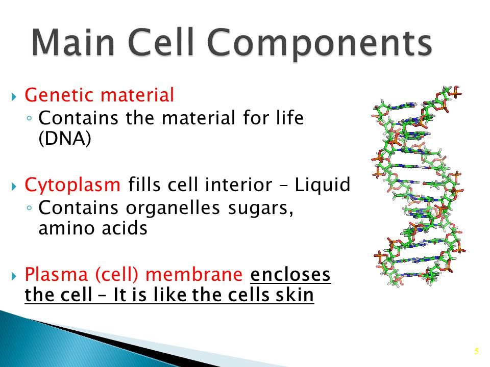 5  Genetic material ◦ Contains the material for life (DNA)  Cytoplasm fills cell interior – Liquid ◦ Contains organelles sugars, amino acids  Plasma (cell) membrane encloses the cell – It is like the cells skin