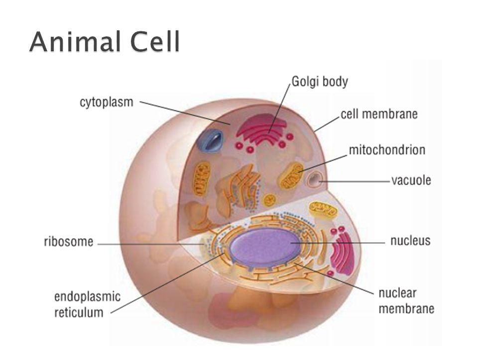 26 Eucaryotic Cell Interactive Animation