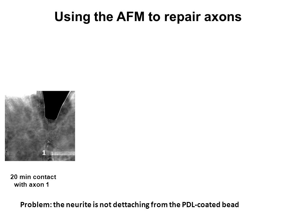 "1 1 2 2 2 3 Using the AFM to repair axons 20 min contact lift cantilever 20 min. contact lift cantilever with axon 1 pulling ""neurite"" with axon 2 Pro"