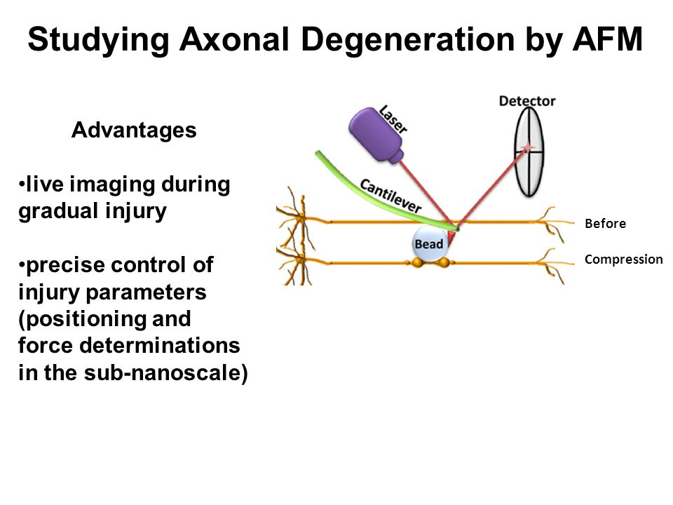 Studying Axonal Degeneration by AFM Before Compression Recovery Deformation Increased deformation Degeneration Hippocampal DRG Advantages live imaging