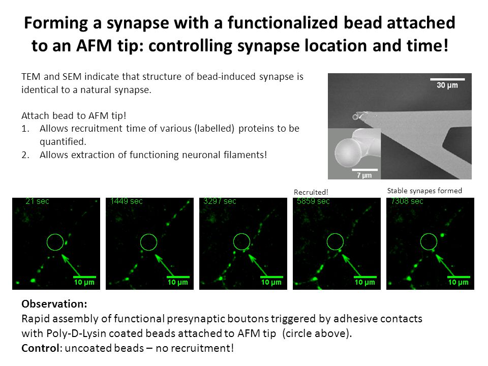 Forming a synapse with a functionalized bead attached to an AFM tip: controlling synapse location and time! TEM and SEM indicate that structure of bea