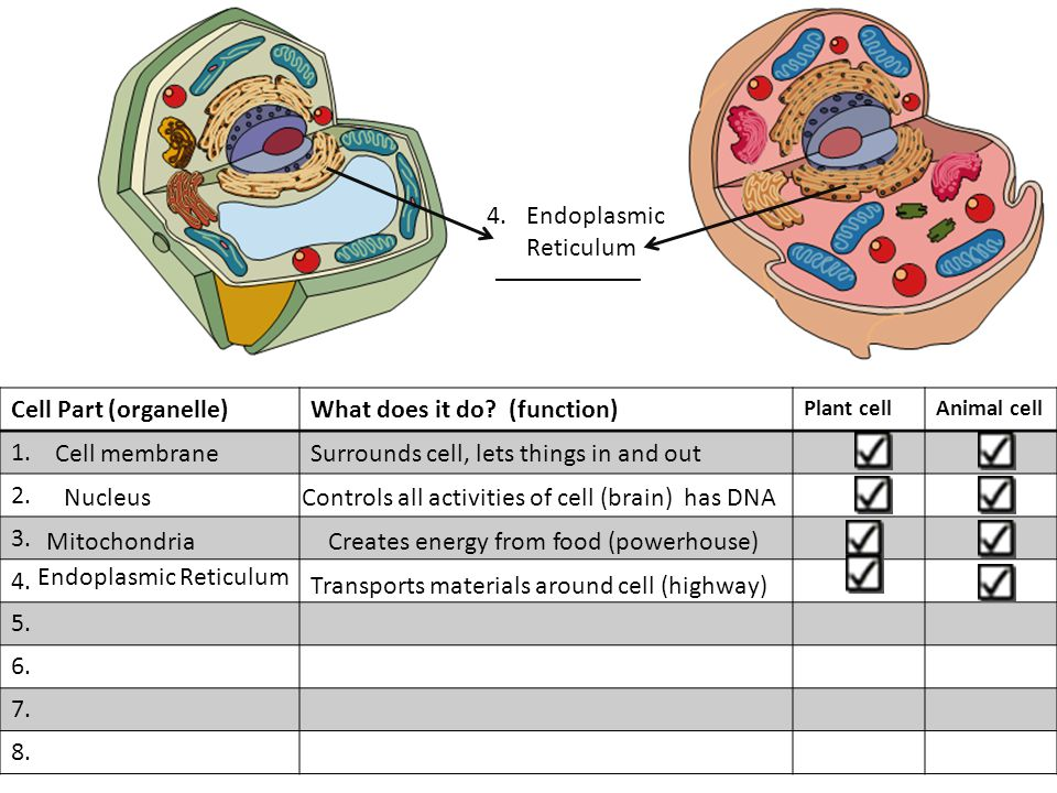 Cell Part (organelle)What does it do. (function) Plant cellAnimal cell 1.