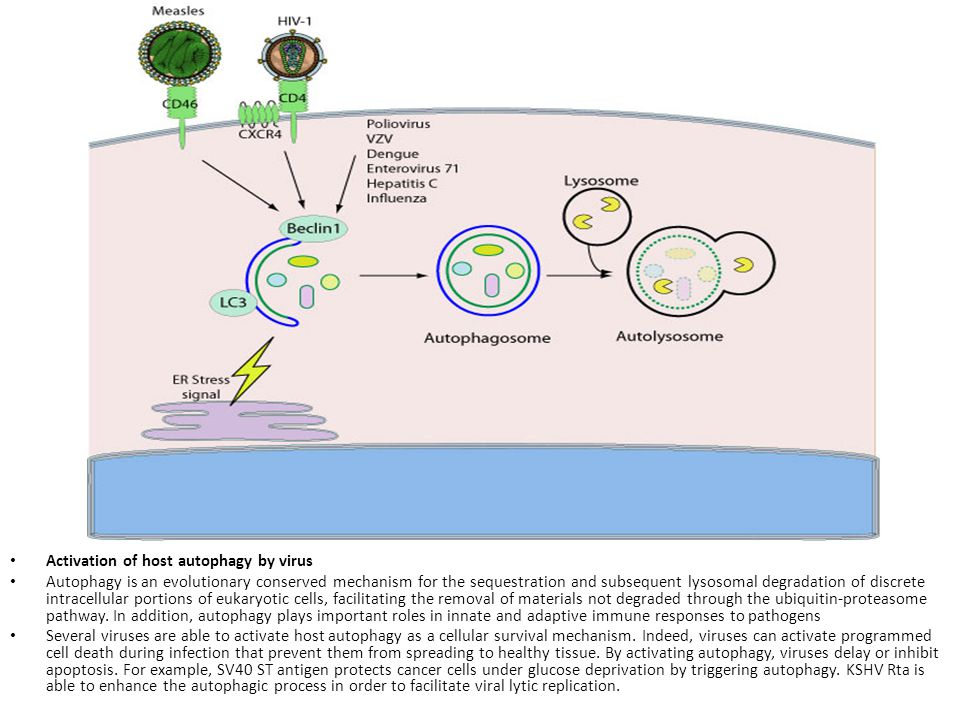 Activation of host autophagy by virus Autophagy is an evolutionary conserved mechanism for the sequestration and subsequent lysosomal degradation of d