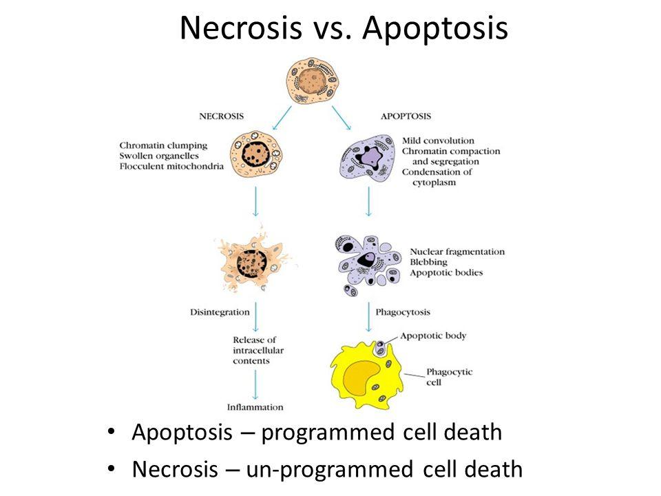 Necrosis vs. Apoptosis Apoptosis – programmed cell death Necrosis – un-programmed cell death