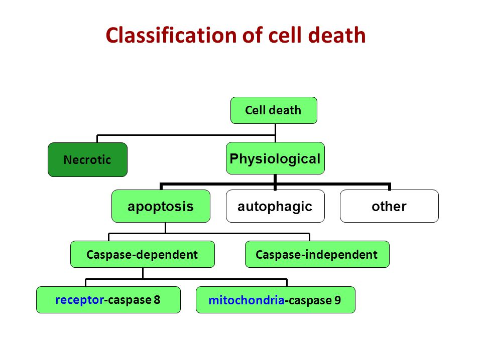 Cell death Necrotic Caspase-dependentCaspase-independent receptor-caspase 8 mitochondria-caspase 9 Classification of cell death