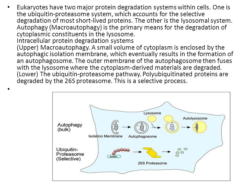 Eukaryotes have two major protein degradation systems within cells. One is the ubiquitin-proteasome system, which accounts for the selective degradati