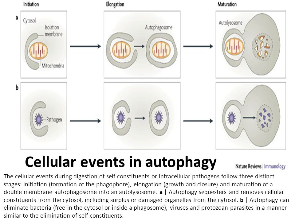 Cellular events in autophagy The cellular events during digestion of self constituents or intracellular pathogens follow three distinct stages: initia