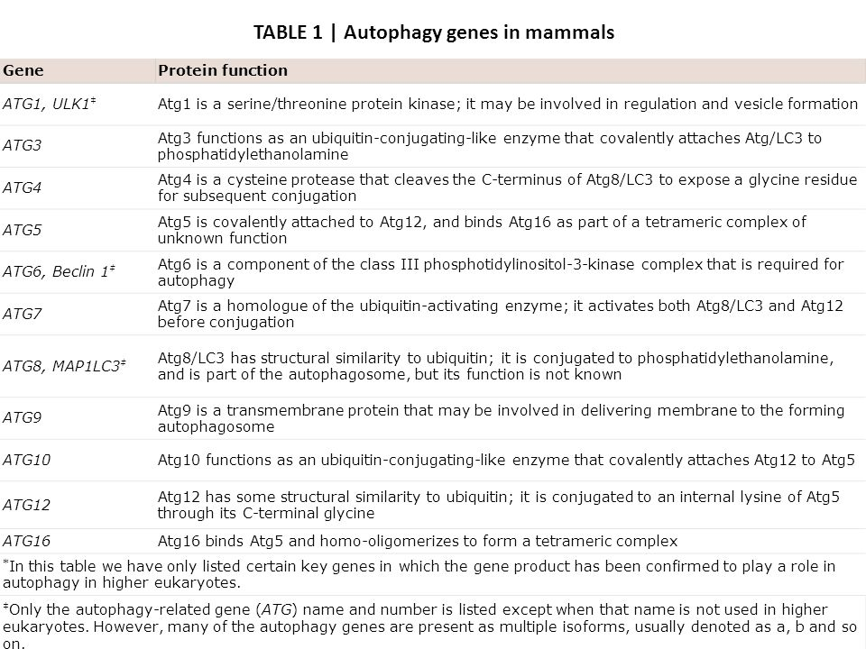 TABLE 1 | Autophagy genes in mammals GeneProtein function ATG1, ULK1 ‡ Atg1 is a serine/threonine protein kinase; it may be involved in regulation and