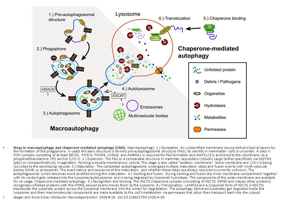 Steps in macroautophagy and chaperone-mediated autophagy (CMA). Macroautophagy: 1.) Nucleation. An unidentified membrane source delivers lipid bi-laye