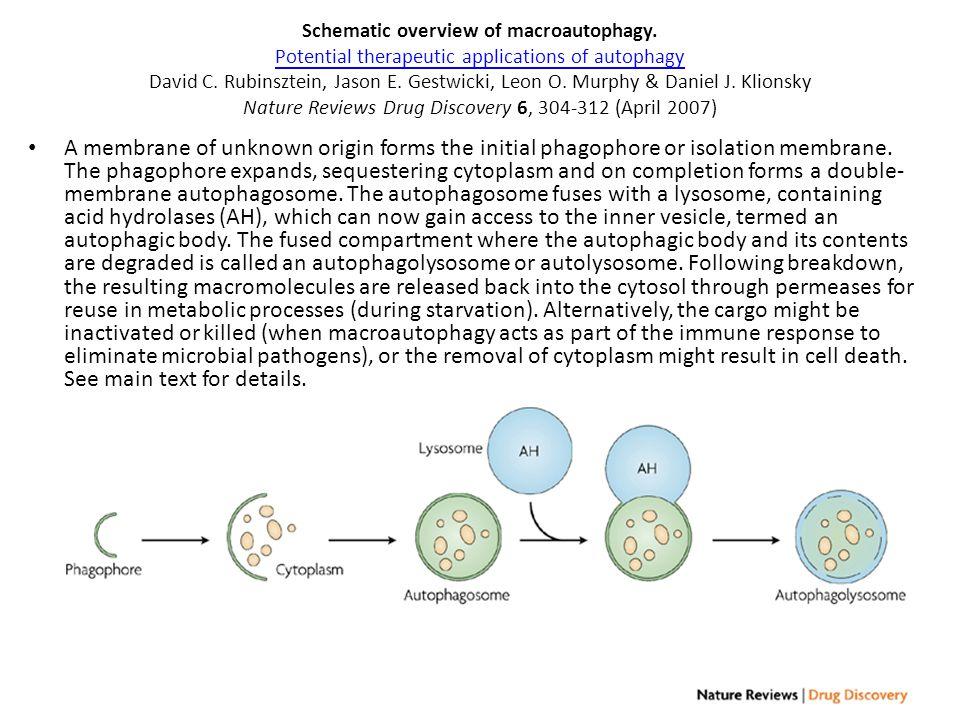 Schematic overview of macroautophagy. Potential therapeutic applications of autophagy David C. Rubinsztein, Jason E. Gestwicki, Leon O. Murphy & Danie