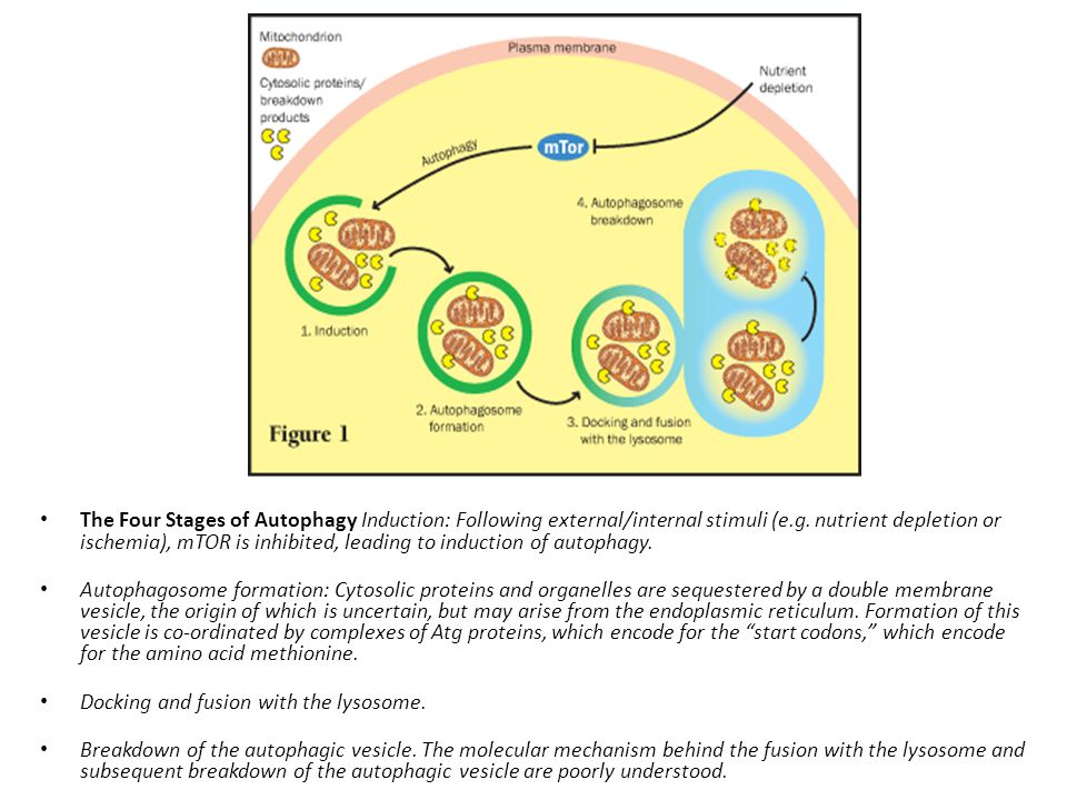 The Four Stages of Autophagy Induction: Following external/internal stimuli (e.g. nutrient depletion or ischemia), mTOR is inhibited, leading to induc