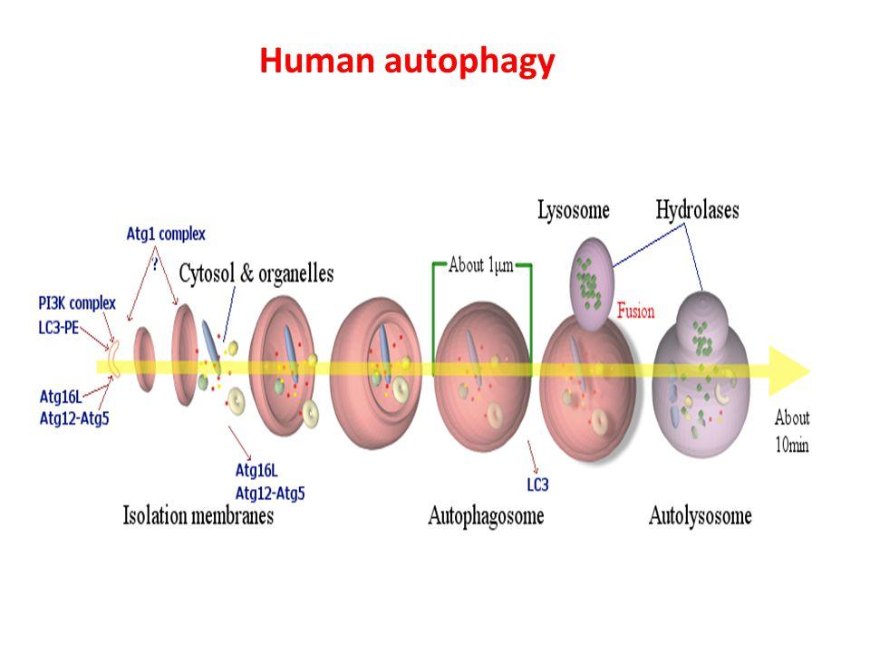 Human autophagy