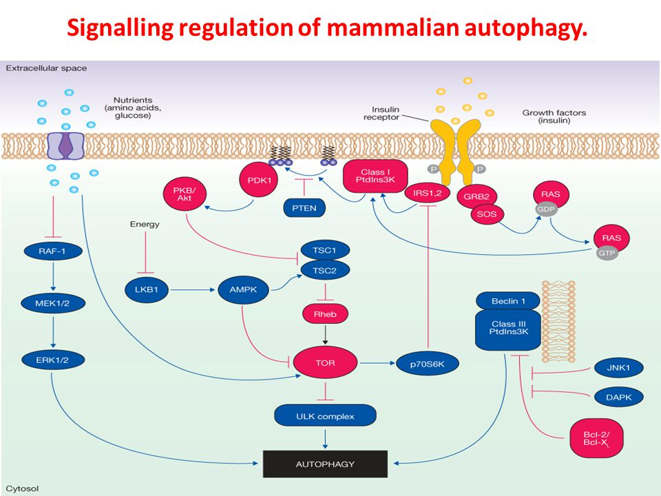 Signalling regulation of mammalian autophagy. In the figure, the blue components represent the factors that stimulate autophagy, whereas the red ones