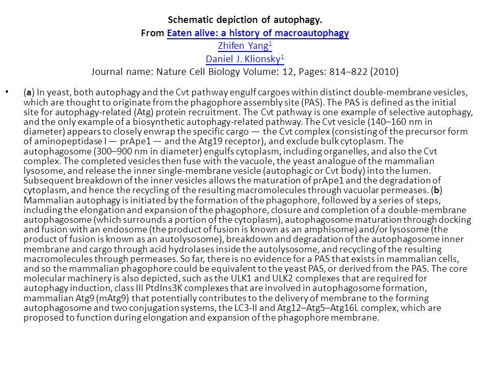 Schematic depiction of autophagy. From Eaten alive: a history of macroautophagy Zhifen Yang 1 Daniel J. Klionsky 1 Journal name: Nature Cell Biology V