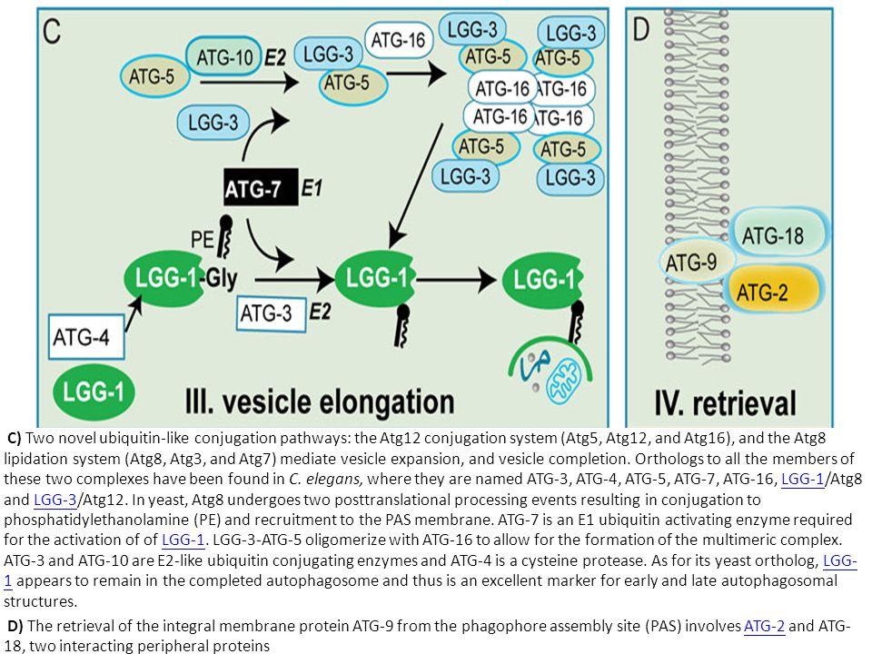 C) Two novel ubiquitin-like conjugation pathways: the Atg12 conjugation system (Atg5, Atg12, and Atg16), and the Atg8 lipidation system (Atg8, Atg3, a